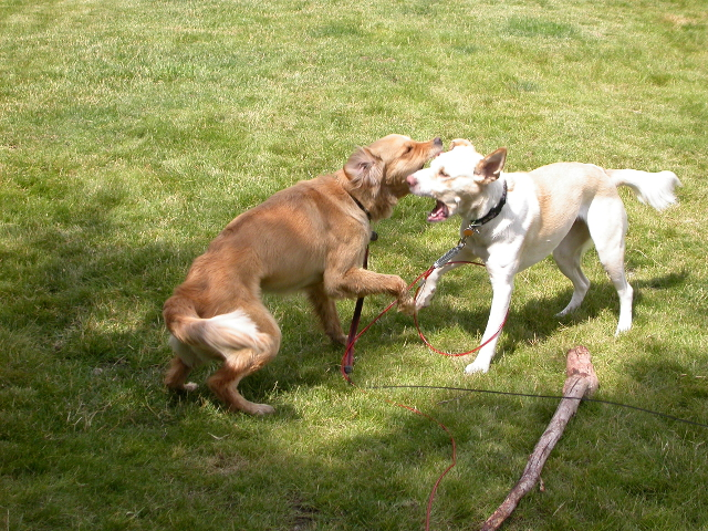 Venus and Asner often played in the yard. Asner was a mix of pit bull and Labrador Retriever and was stronger than Venus.