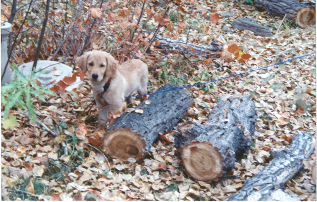 Venus at age 5 months tied to the dog run in our yard, November 2001.